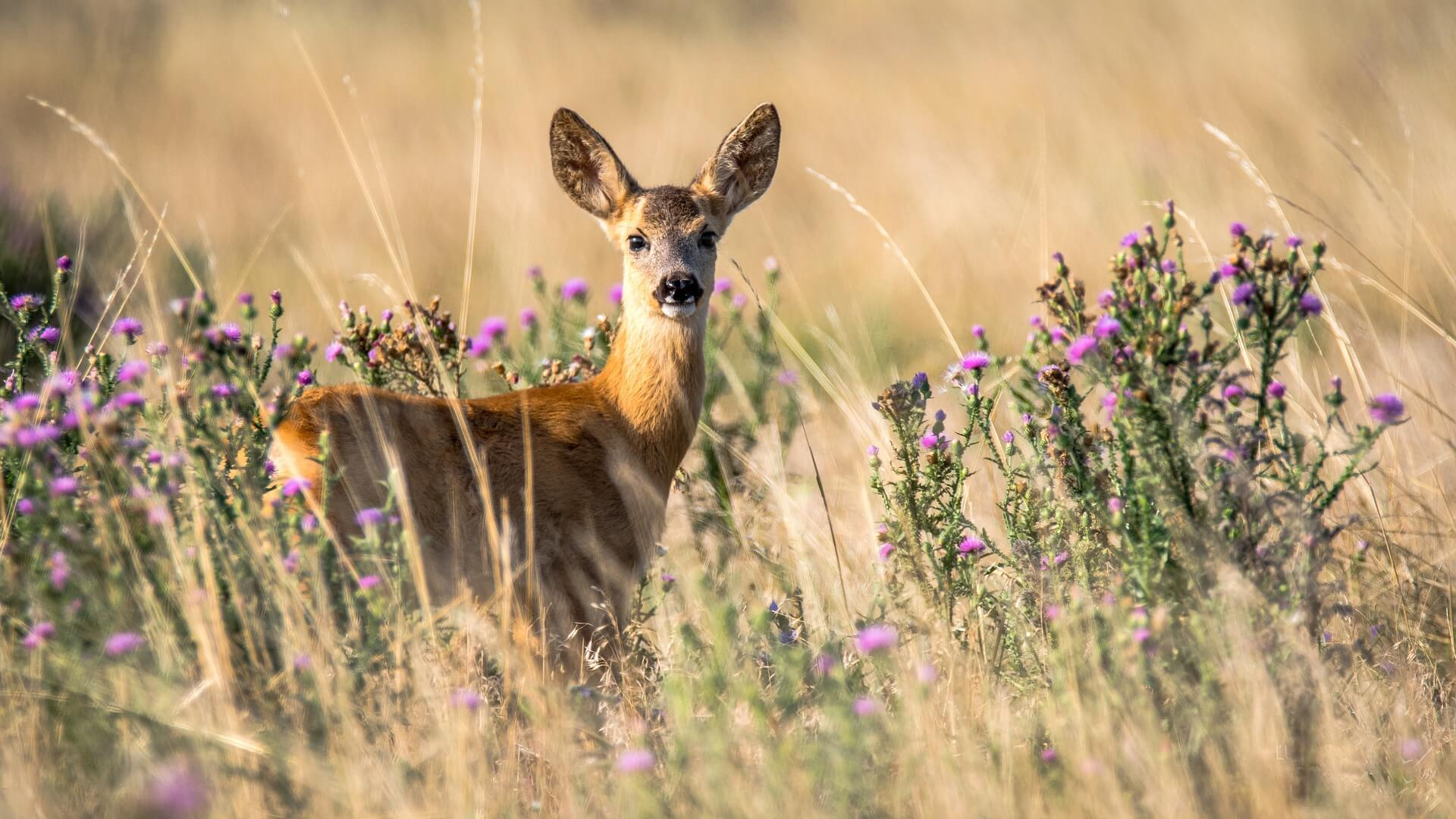The Missouri Department of Conservation Reminds Hunters of New CWD Regulations for Cervid Carcasses