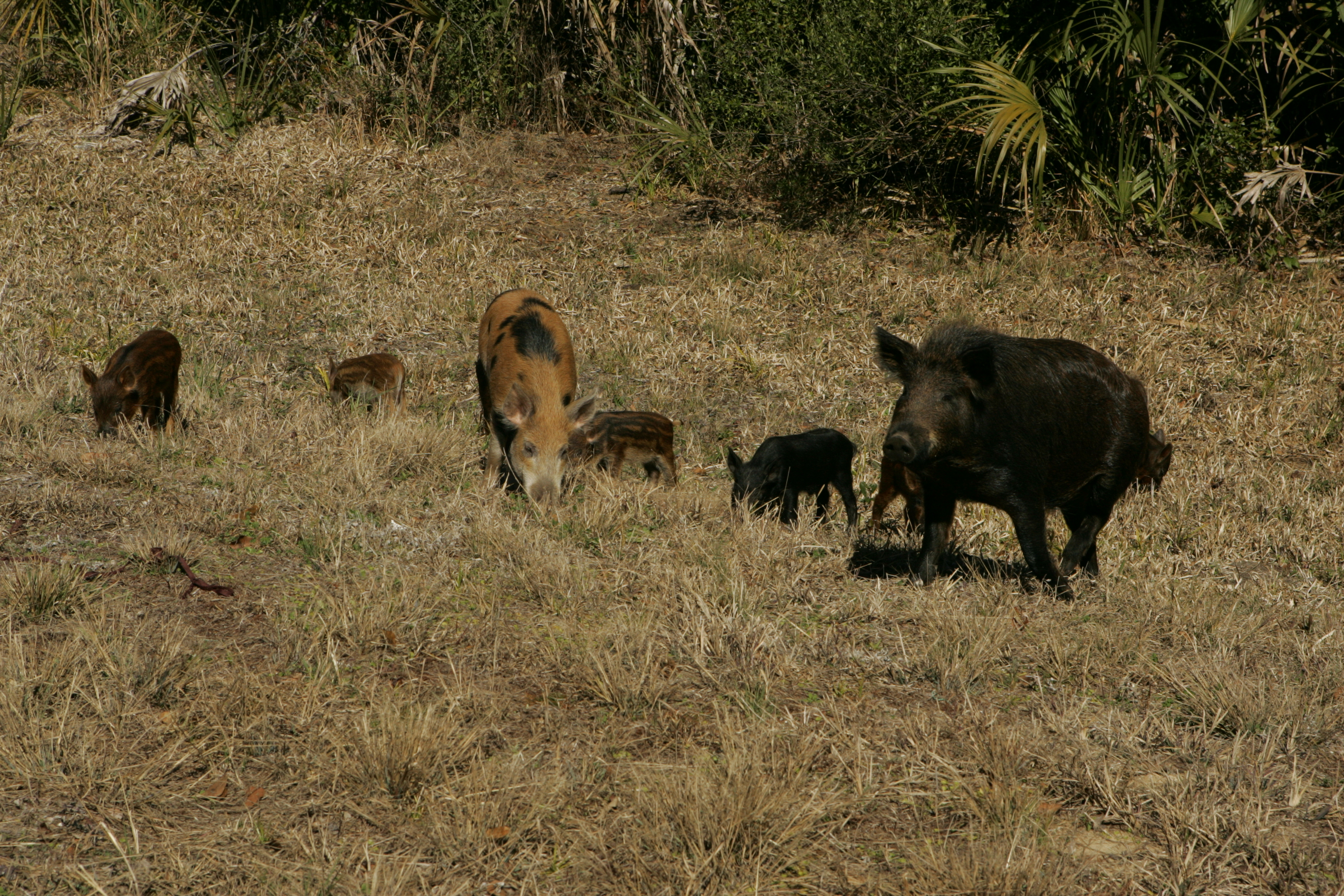 MDC Feral Hog Fight on Hold